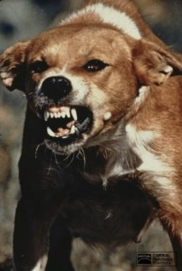 Rage canine (Mérial)